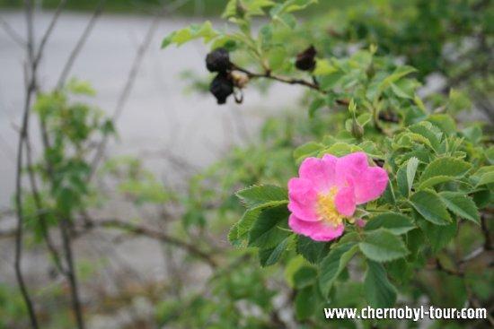 Припять - город роз
