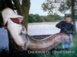 Сомы и рыбалка в Чернобыслькой зоне отчуждения